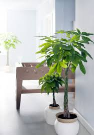Small Indoor Trees by Pachira The Joy Of Plants