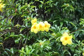 yellow allamanda golden trumpet la paz