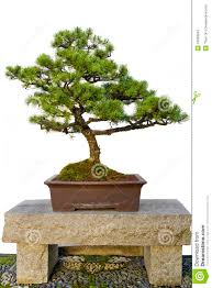 bonsai tree on stone bench in chinese garden royalty free stock