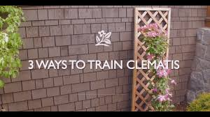 how to train clematis youtube