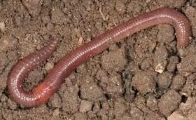 Obat Kapsul Cacing Tanah 9 manfaat cacing tanah bagi kesehatan manfaat co id