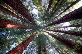 Chandelier Tree Address California Redwood Forests Where To See The Big Trees