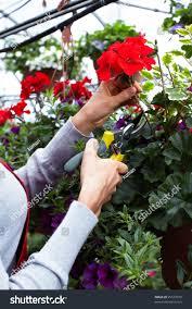 florist woman cutting flowers gardening stock photo 95577079
