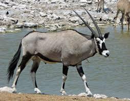 Oregon the traveler images Male oryx etosha waterhole oregon budget traveler jpg