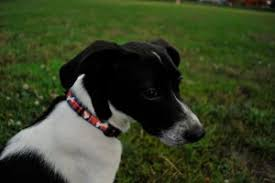 bluetick coonhound jack russell mix gucci the beagle jack russell mix project dog