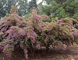 plants native to china razzleberri fringe flower monrovia razzleberri fringe flower