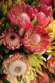 Protea Flower The 25 Best Protea Flower Ideas On Pinterest King Protea