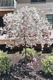 best 25 flowering trees ideas on trees