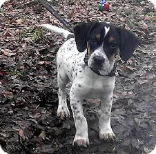 bluetick coonhound with cats tanner adopted puppy frenchburg ky bluetick coonhound