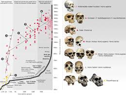 human evolution tree on human evolution hominid