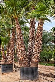 mexican fan palm growth rate washingtonia robusta palm trees mexican fan palm multi trunk