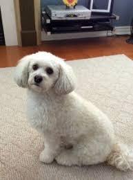 bichon frise intelligence poo also known as poochon bichpoo bichon poodle dogs