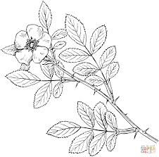 carolina rose or pasture rose coloring page free printable