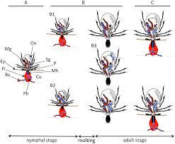 hard tick factors implicated in pathogen transmission
