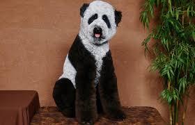 labradoodle hairstyles 20 bizarre dog hairdos bored panda