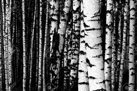 white birch symbol of russian nature stock photo picture and
