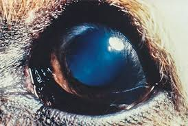 Blindness After Cataract Surgery Cataracts And Cataract Surgery In Dogs Animal Eye Care