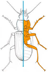 how to draw insects understanding and drawing the legs part 2