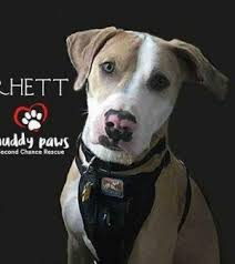 american pitbull terrier puppies louisiana area shelters and rescues save louisiana dogs need your support