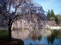 National Cherry Blossom Festival by National Cherry Blossom Festival U2013 Inspired Vision