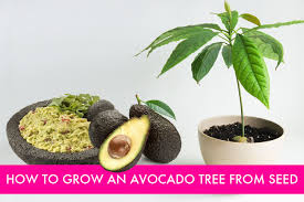 how to grow an avocado tree from seed inhabitat green design