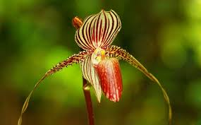 slipper flower the most expensive orchid in the world mysabah