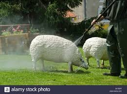 stock photo of a cleaning the ornamental concrete sheep in the