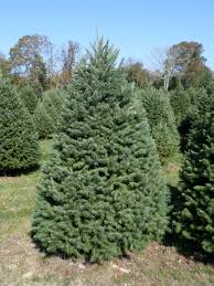 holly ridge tree farm