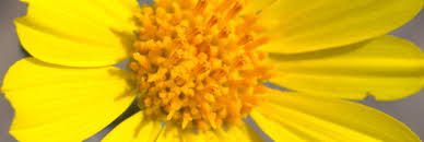 miss the anza borrego bloom the mojave u0027s flowers are just getting