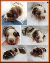 5 week old mini australian shepherd callie u0027s litter 1 pup2 red merle harlequin female miniature