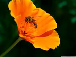 bee california poppy flower hd desktop wallpaper widescreen