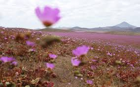 atamacama desert bursts into bloom after unusual rainfall travel