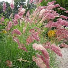 ruby grass seeds bristle leaved redtop ornamental grass seed
