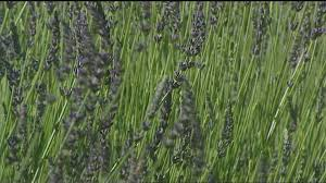 Plants That Repel Aphids by You Can Grow It 9 Plants That Bug Bugs Ktvb Com
