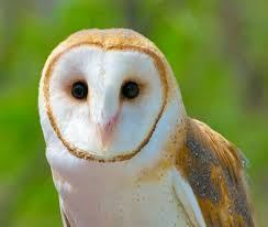 Where Do Barn Owls Live Learn To Identify Five Owls By Their Calls Audubon