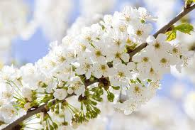 white cherry blossom branch with white cherry blossom in stock image image of