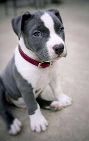 blue american pitbull terrier which dog breed do you talk like dog breeds dog and bull