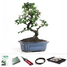 bonsai fujian tea bonsai tree from easternleaf bonsai