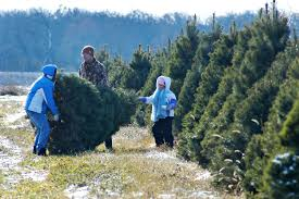 christmas tree farm hampshire christmas tree nordmann fir