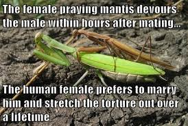 Mantis Meme - the female praying mantis devours the male within hours after mating