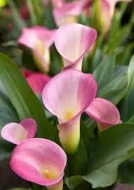pink calla pink calla plant care zantedeschia rehmannii