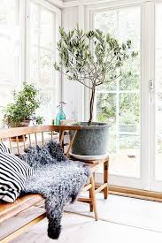Great Indoor Trees Hgtv by Olive Trees Indoors Our Best Tips For Care U0026 Growing Apartment