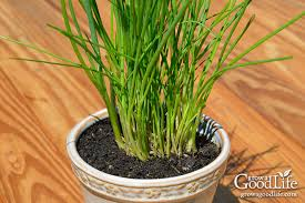 grow herbs indoors potting up chives