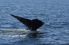 6 rare right whales found dead off canada news capecodtimes