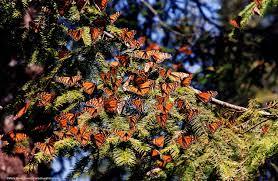 Monarch Migration Map Migration U2014 Marty Nevils Davis Photography U0026 Butterflies