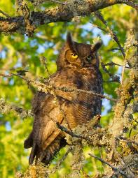 great horned owl looking at viewer chris bidleman photography