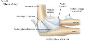 Collateral Ligaments Ankle Chapter 9 Articulations Part 1 Ppt Video Online Download