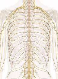 Anatomy And Physiology Of The Back Of The Chest And Upper Back