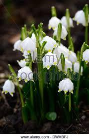 Snowflake Flower - leucojum vernum spring snowflake white flower flowers flowering