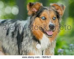 australian shepherd blue eyes beautiful blue eyed tri color merle australian shepherd shepard